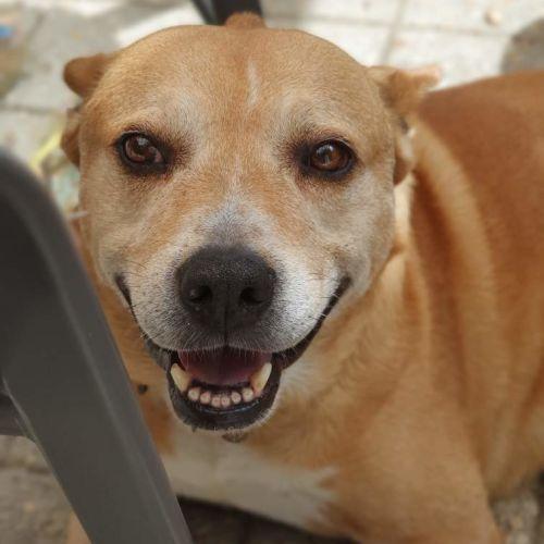 Oscar  - American Staffordshire Terrier Dog