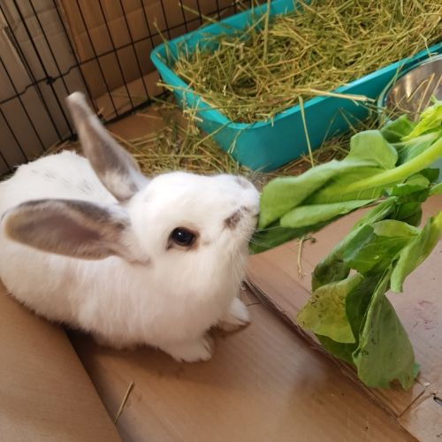 Boris  - Domestic Rabbit