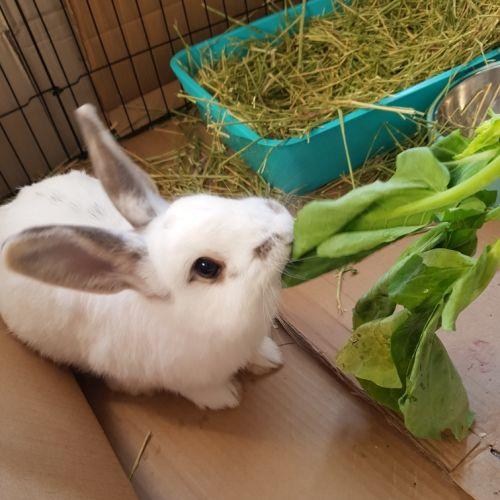Boris  - Domestic Rabbit