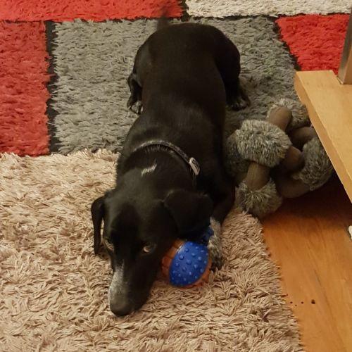 Beau - Dachshund Dog