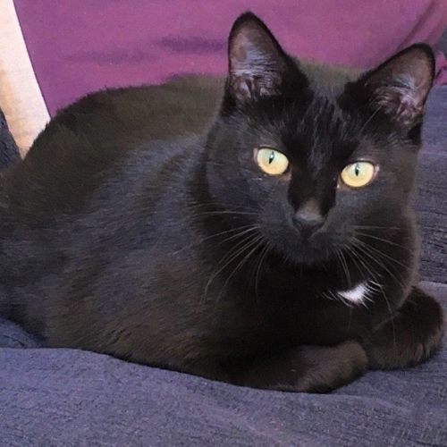 Wallis - Domestic Short Hair Cat