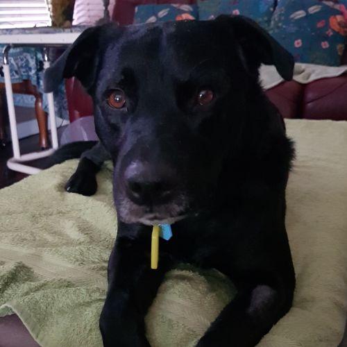 Jet  - Labrador Dog