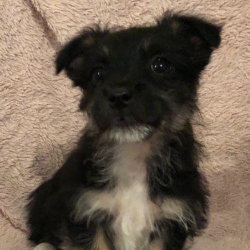 Banjo - Maltese Dog