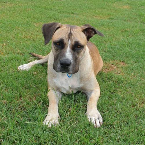 Cocoa ~ $150 Adoption Fee ~ - Bullmastiff Dog
