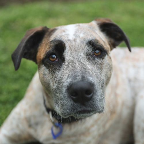 Lou Lou ~ 2yr Old Cattle X Mastiff - Cattle Dog x Mastiff Dog