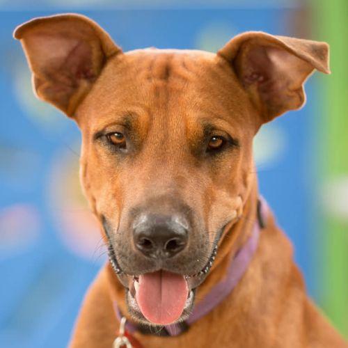 Dirk - Rhodesian Ridgeback x Mastiff Dog
