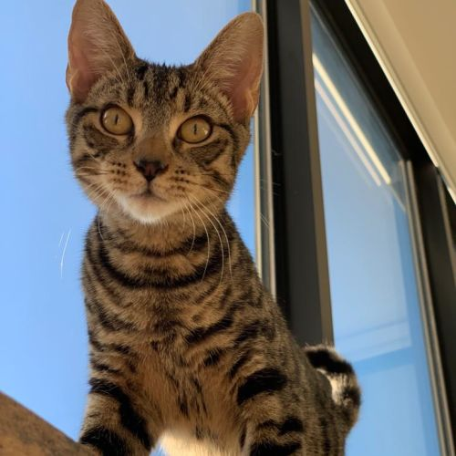 Damon - Domestic Short Hair Cat