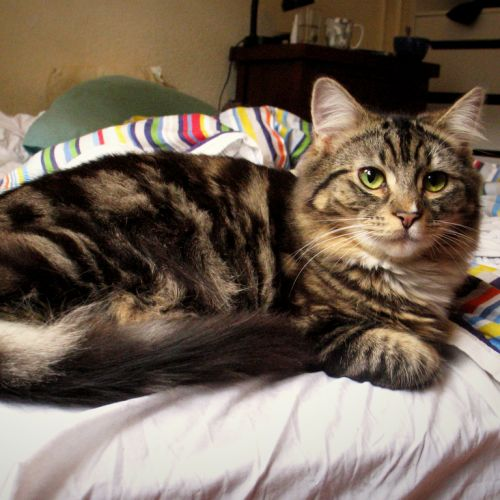 Zelda - Located in Elwood - Domestic Medium Hair Cat