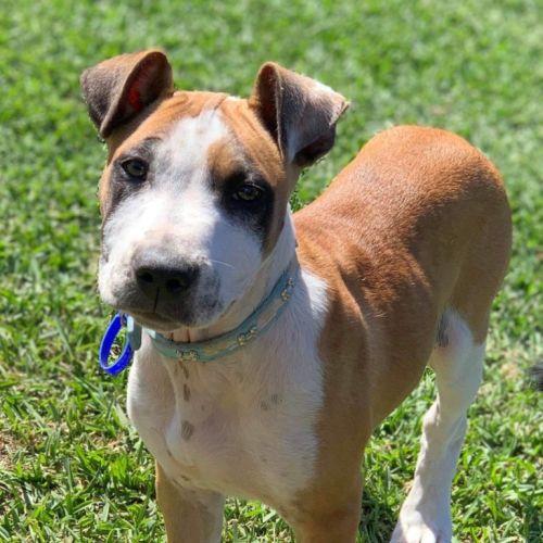 Hank ~ cuddly Staffy X Mastiff puppy - Staffy x Mastiff Dog