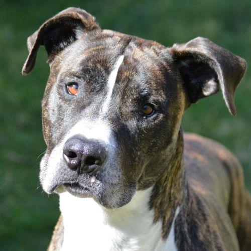 Obie - Staffordshire Bull Terrier Dog