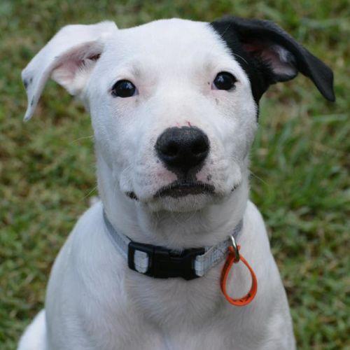 Kia - Border Collie x Kelpie Dog