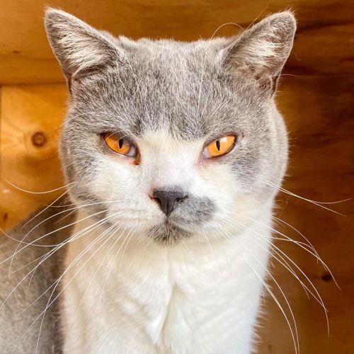 Timmy Blue - British Shorthair Cat