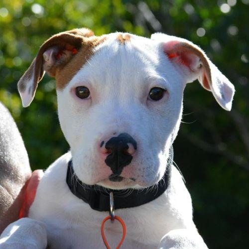 Boston (Adoption Pending) - Bull Arab Dog