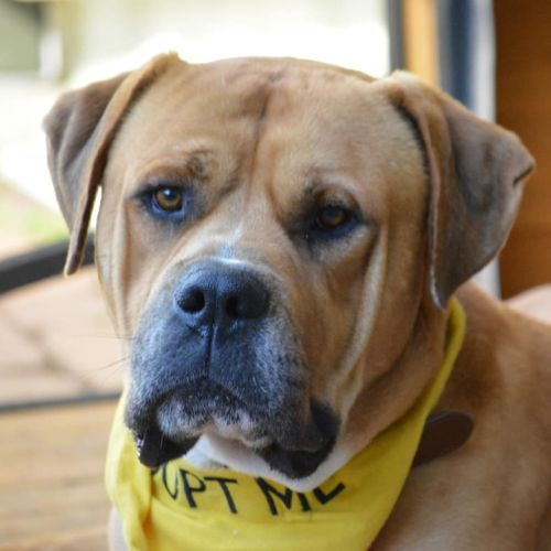 Rocky - Neapolitan Mastiff x Boxer Dog