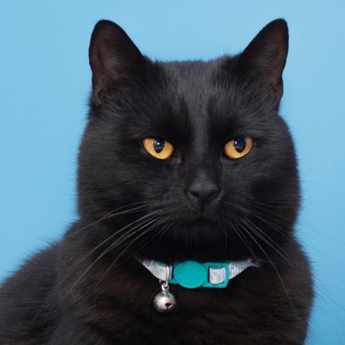 Ricotta ** 2nd Chance Cat Rescue** - Domestic Short Hair Cat