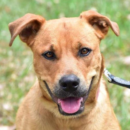 Diva - Rhodesian Ridgeback Dog