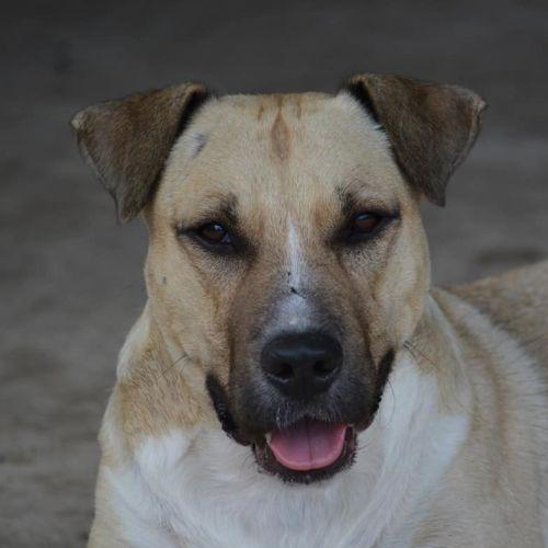Champ - Staffordshire Bull Terrier Dog