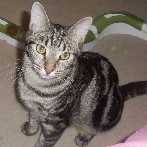 April - Domestic Short Hair Cat