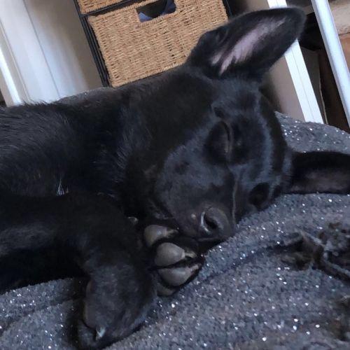 Luna - Kelpie Dog