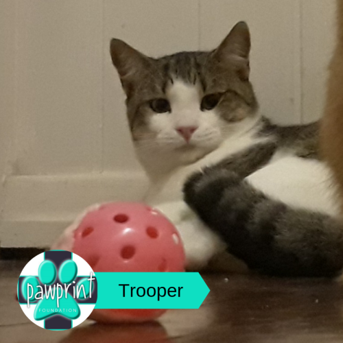 Trooper - Domestic Short Hair Cat