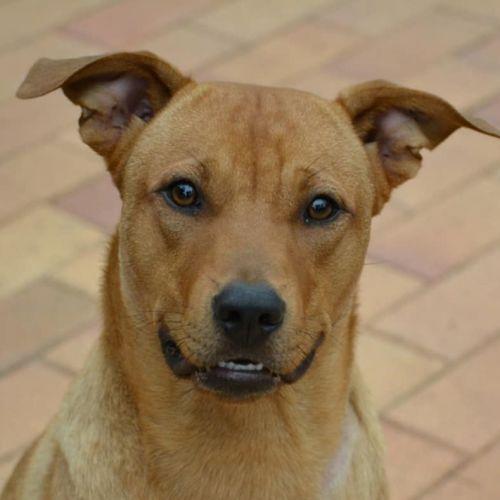 Chance - Staffordshire Bull Terrier x Australian Cattle Dog