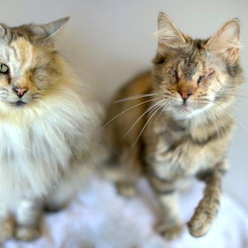 Gabby - Domestic Short Hair Cat