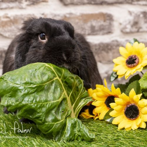 Carrots 🥕  - Dwarf lop Rabbit
