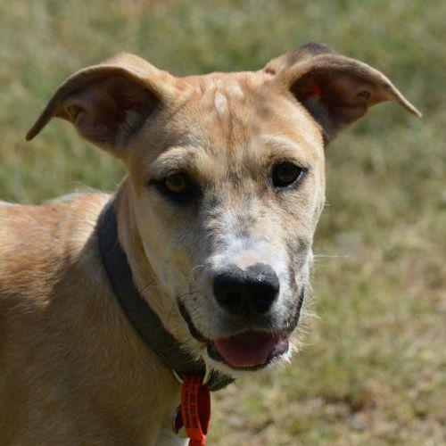 Ciara - Wolfhound Dog
