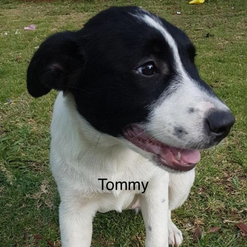 Tommie - Border Collie Dog