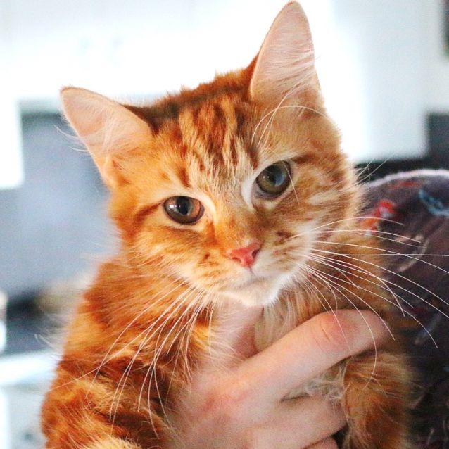 Photo of London ~ 6 Mo Female Ginger