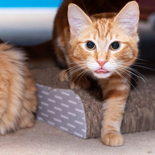 Dilmah **2nd Chance Cat Rescue** - Domestic Short Hair Cat