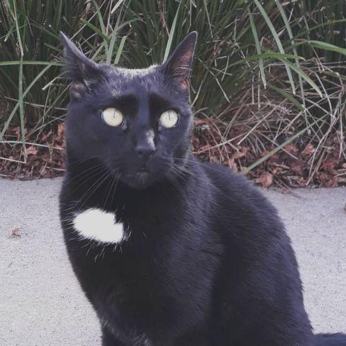 Peppe - Domestic Short Hair Cat