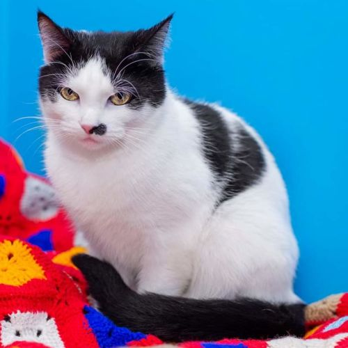 Lilly **2nd Chance Cat Rescue** - Domestic Short Hair Cat