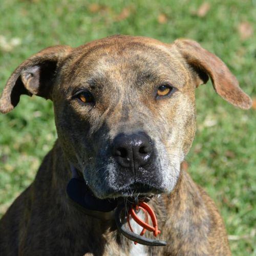 Annie - Staffordshire Bull Terrier Dog