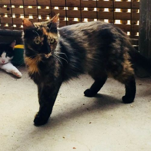 Beautiful Belle - Available to Foster - Domestic Medium Hair Cat