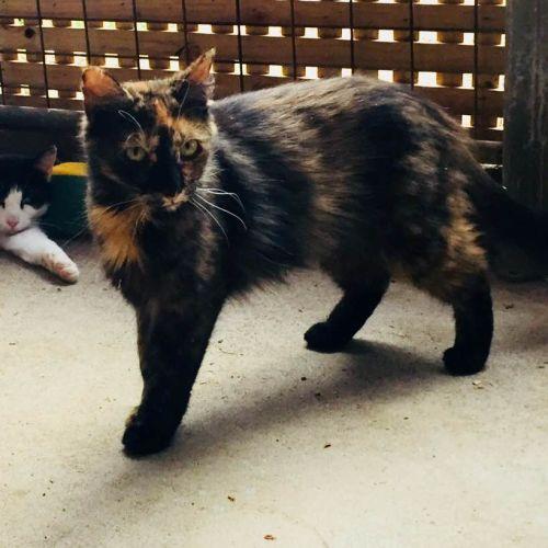 Beautiful Belle - Domestic Medium Hair Cat