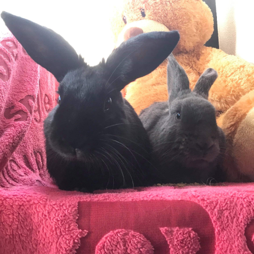 Ebony and Evita - Dwarf Rabbit