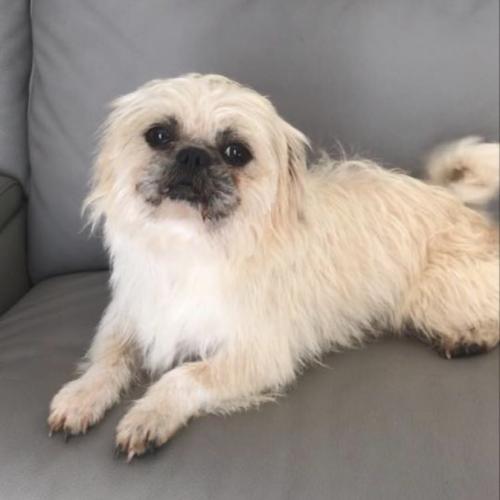 Rupert - Pug x Maltese Dog