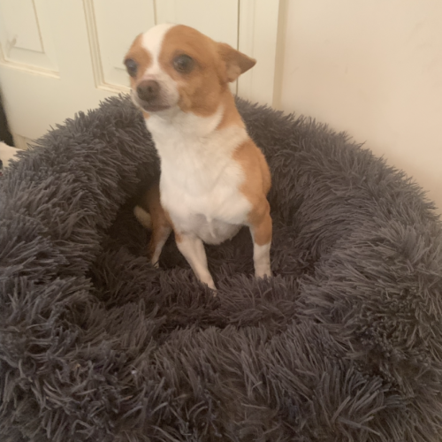 Samson (now on trial adoption) - Chihuahua Dog