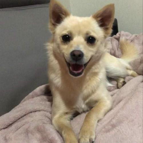 Fifi - Pomeranian Dog