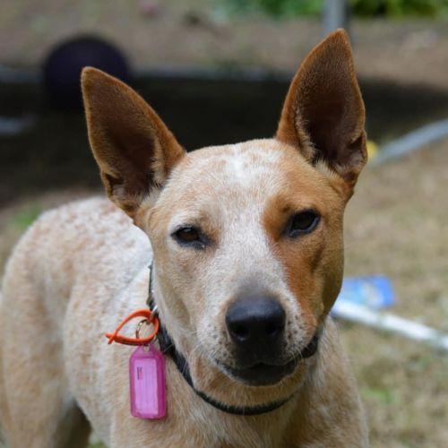 Bonnie - Australian Cattle Dog