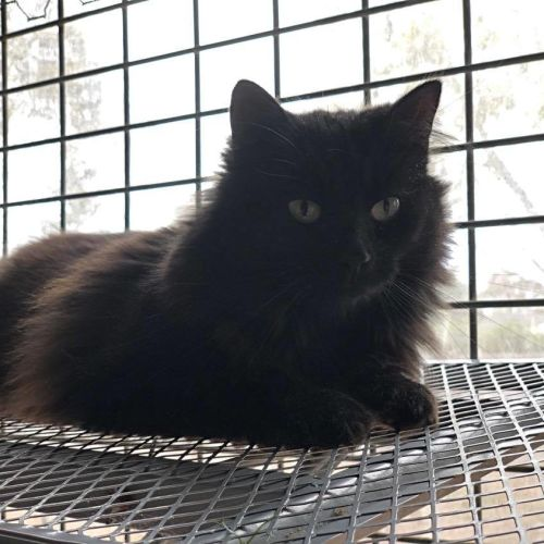 Raven. $200. Available to Foster - Domestic Medium Hair Cat