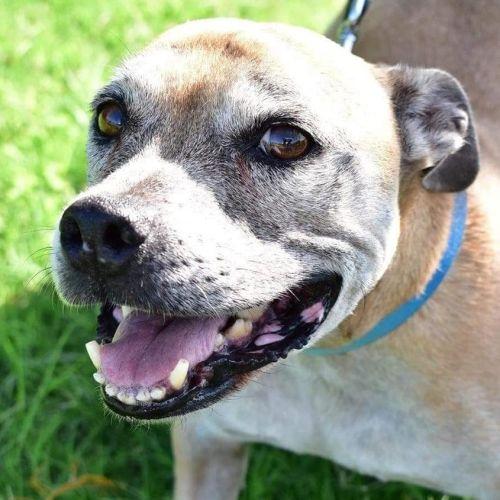 Butch - Staffordshire Bull Terrier Dog