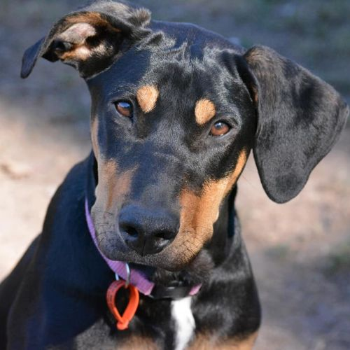 Athena - Kelpie x Doberman Dog