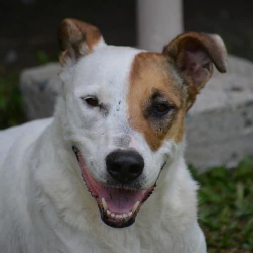Soxy - Australian Cattle Dog x Kelpie Dog