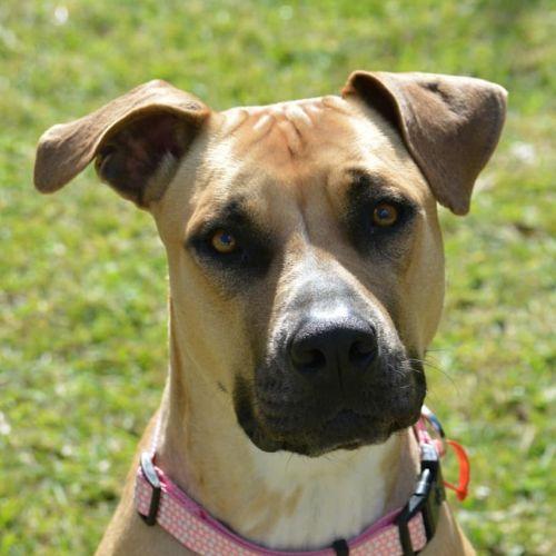 Connie - Mastiff x Kelpie Dog