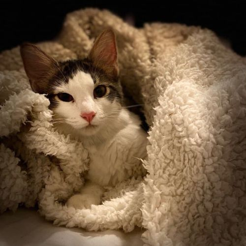 Ariel - Domestic Short Hair Cat