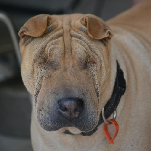 Gypsie - Shar-Pei Dog