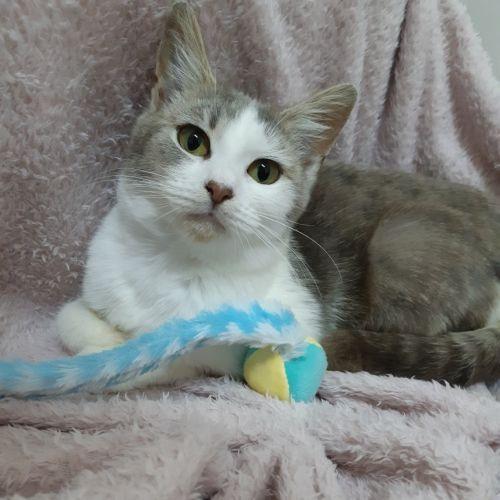 Valerie - Domestic Short Hair Cat