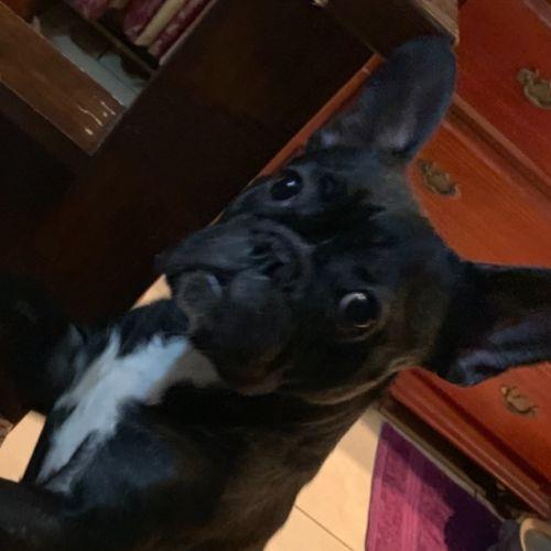 Emma - French Bulldog